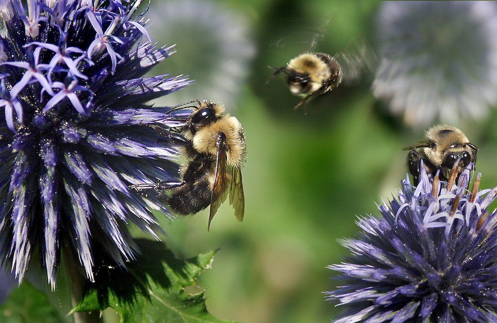 Three bumble bees in the Shakespeare Gardens.