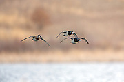 Ringnecked ducks in flight