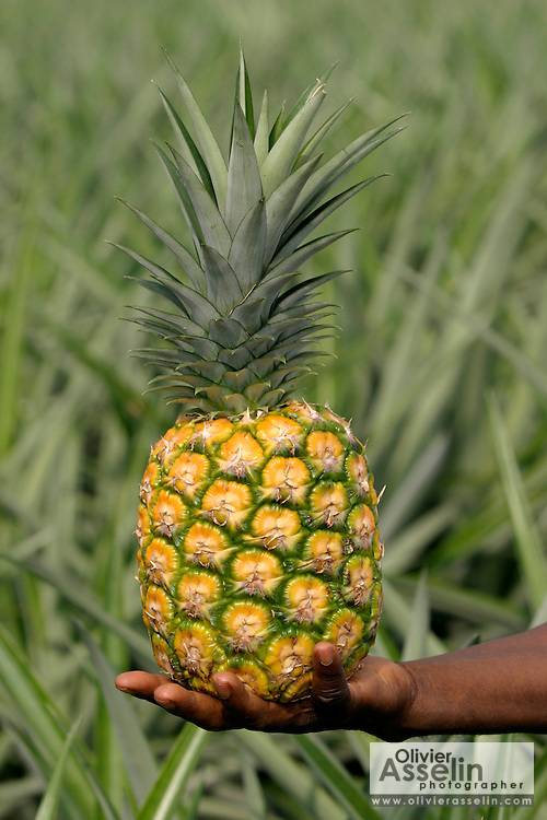 Hand holding MD2 variety pineapple.