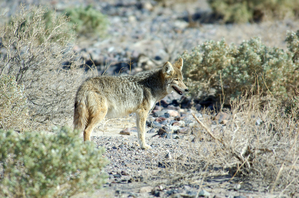 Coyote (Canis latrans), Death Valley National Park, California, United States of America