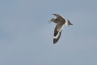 Willet (Catoptrophorus semipalmatus) in flight, Cherry Beach, Nova Scotia, Canada
