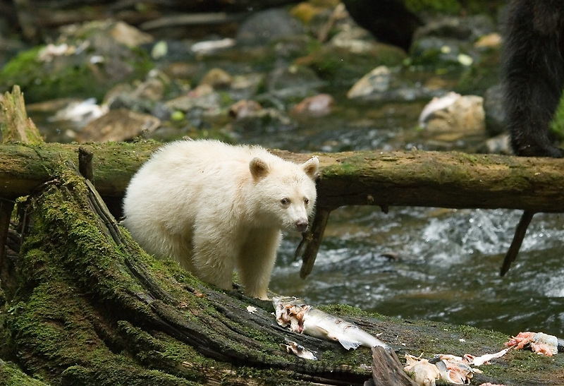 Spirit Bear Cun in Korich