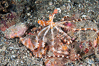 """""""Wunderpus"""" spreading its arms and body web to feed..Shot in West Papua Province, Indonesia"""