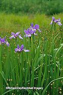 63899-05112 Blue Flag Irises (Iris virginica) in wetland, Marion Co.  IL