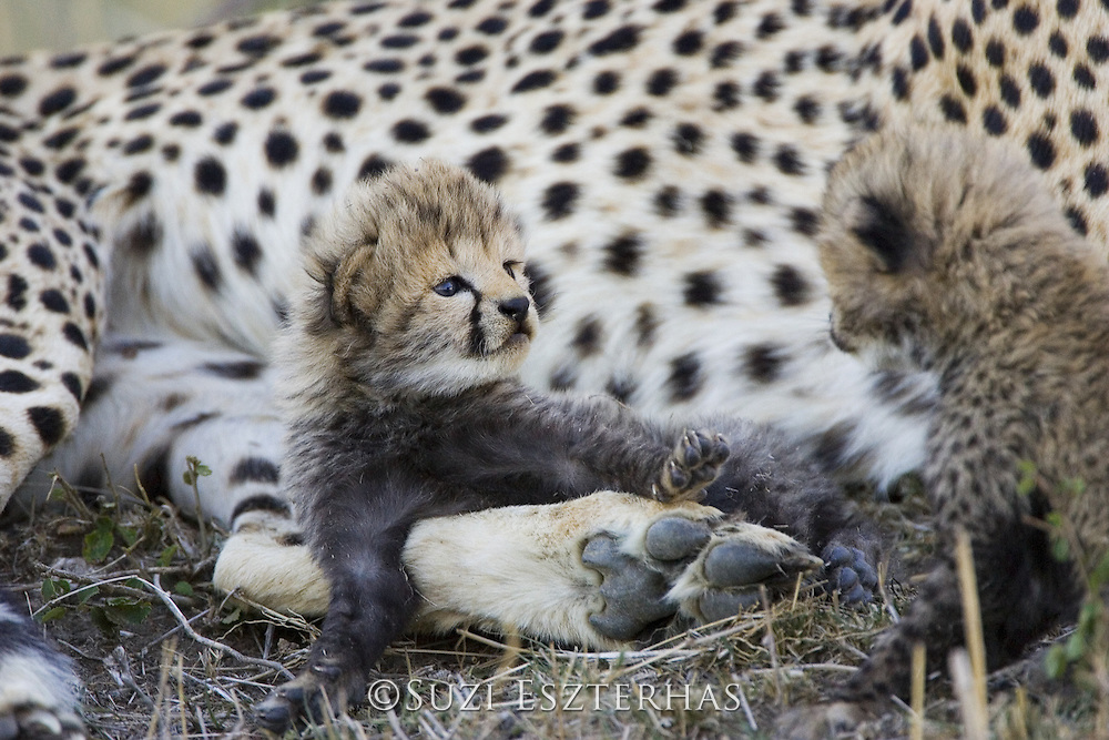 Cheetah<br /> Acinonyx jubatus<br /> 16 day old cub playfully stares at sibling<br /> Maasai Mara Reserve, Kenya