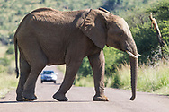 A male elephant is crossing a tarred road with a car on background in South Africa<br /> photo credit by:&copy;Claudio Zamagni