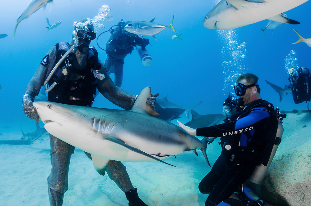 A tourist in Feeport, Grand Bahama gets the chance to pet a live, wild Caribbean reef shark in a relatively safe setting