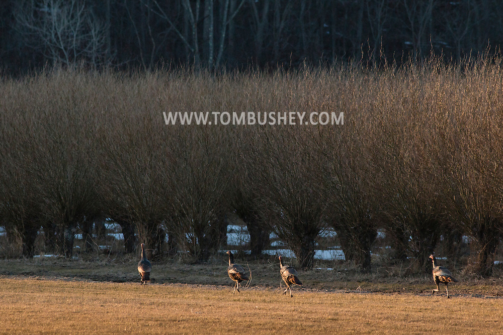 Wawayanda, New York - Wild turkeys trot along a farm field on March 22, 2015.