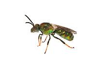 Metallic Green Bee (Augochloropsis metallica), male, South Carolina