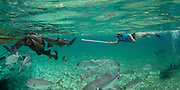 Nurse Shark (Ginglymostoma cirratum) & Vanessa Figueroa monitoring<br /> Shark Ray Alley<br /> Hol Chan Marine Reserve<br /> near Ambergris Caye and Caye Caulker<br /> Belize<br /> Central America