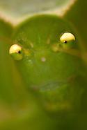 Alberto Carrera,  Grasshopper, Napo River Basin, Amazonia, Ecuador, South America, America