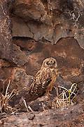 A short-eared owl (Asio flammeus) on Genovesa Island, Galapagos Archipelago - Ecuador.
