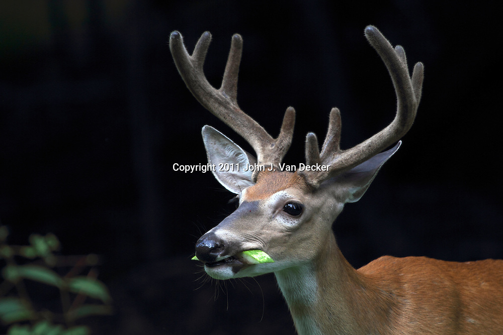 A Whitetail Deer Buck, Odocoileus virginianus, with its antlers encased in velvet eating a watermelon rind. Rifle Camp Park, Woodland Park, New Jersey, USA
