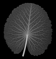 X-ray image of an 'Electra' waterlily pad (Nymphaea 'Electra', white on black) by Jim Wehtje, specialist in x-ray art and design images.
