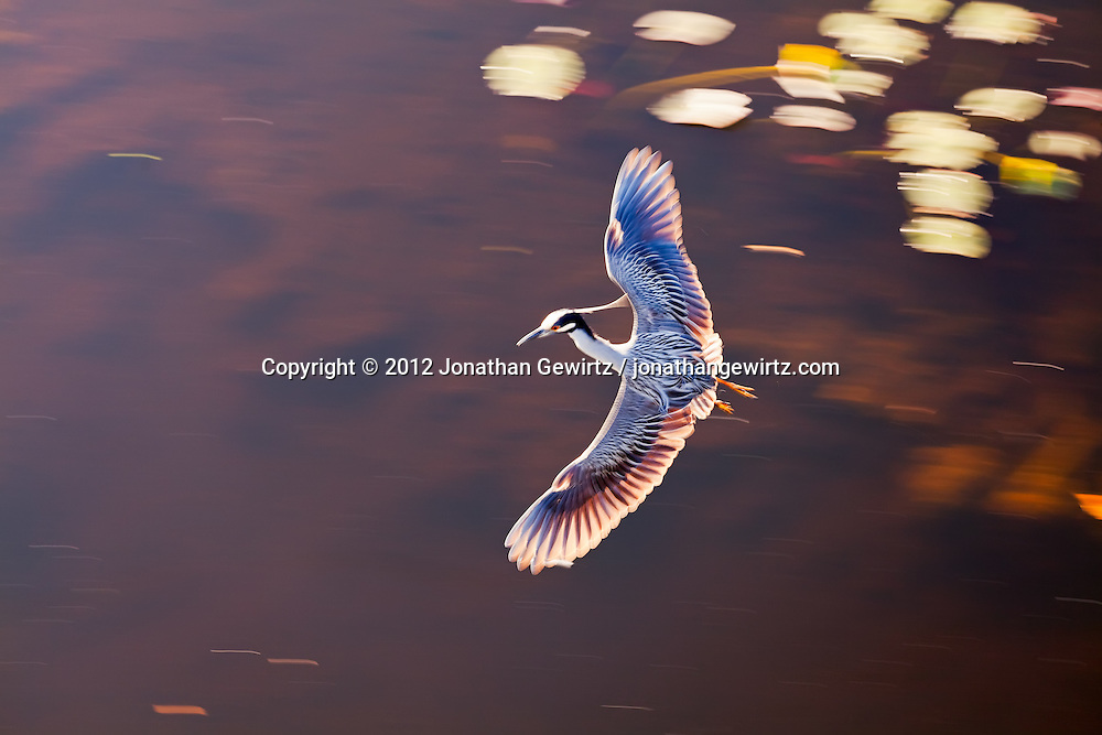 A Yellow-crowned Night Heron (Nyctanassa violacea) flying over a pond in the Shark Valley section of Everglades National Park, Florida. WATERMARKS WILL NOT APPEAR ON PRINTS OR LICENSED IMAGES.<br />