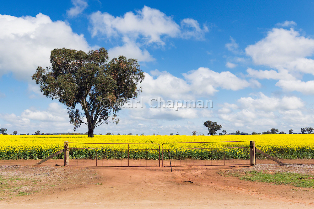 tree in a field of flowering canola crop under blue sky and cloud near Brucedale, New South Wales, Austraila.