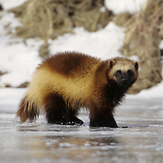 An adult wolverine on a frozen riveer during winter in the Rocky Mountains of Montana. Captive Animal