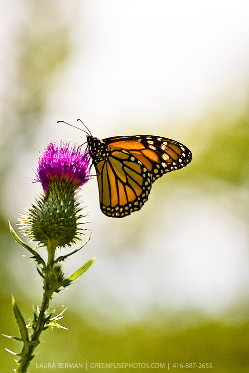 Monarch butterfly (Danaus plexippus) feeding on a Thistle flower (Cirsium)