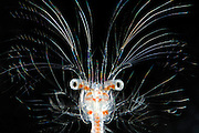 Deep-water decapod (Sergestes larva, decapod crustacean) | Die Frisur sitzt... - auch in 3000 Metern Wassertiefe. Die Krebslarve aus der Gattung Sergestes hat fein verästelte Antennen, die das Schweben in der freien Wassersäule ermöglichen. Ausgewachsene Sergestes-Krebse sind in der Lage, durch schwache Biolumineszenz (selbst produziertes Licht)an der Körperunterseite einen Schattenwurf im Dämmerlicht zu verhindern und sich somit vor den unter ihnen lauernden Fressfeinden zu tarnen. Die Intensität ihres Leuchtens wird dabei an die aktuell von oben einfallende Lichtmenge angepasst.