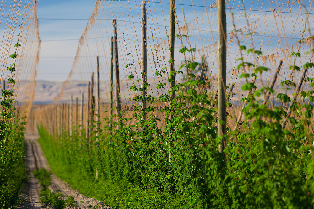 Hops fields in the Yakima Valley in Washington State.