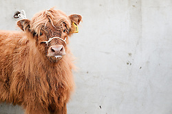 © Licensed to London News Pictures.14/07/15<br /> Harrogate, UK. <br /> <br /> A young calf is tethered to a wall on the opening day of the Great Yorkshire Show.  <br /> <br /> England's premier agricultural show opened it's gates today for the start of three days of showcasing the best in British farming and the countryside.<br /> <br /> The event, which attracts over 130,000 visitors each year displays the cream of the country's livestock and offers numerous displays and events giving the chance for visitors to see many different countryside activities.<br /> <br /> Photo credit : Ian Forsyth/LNP