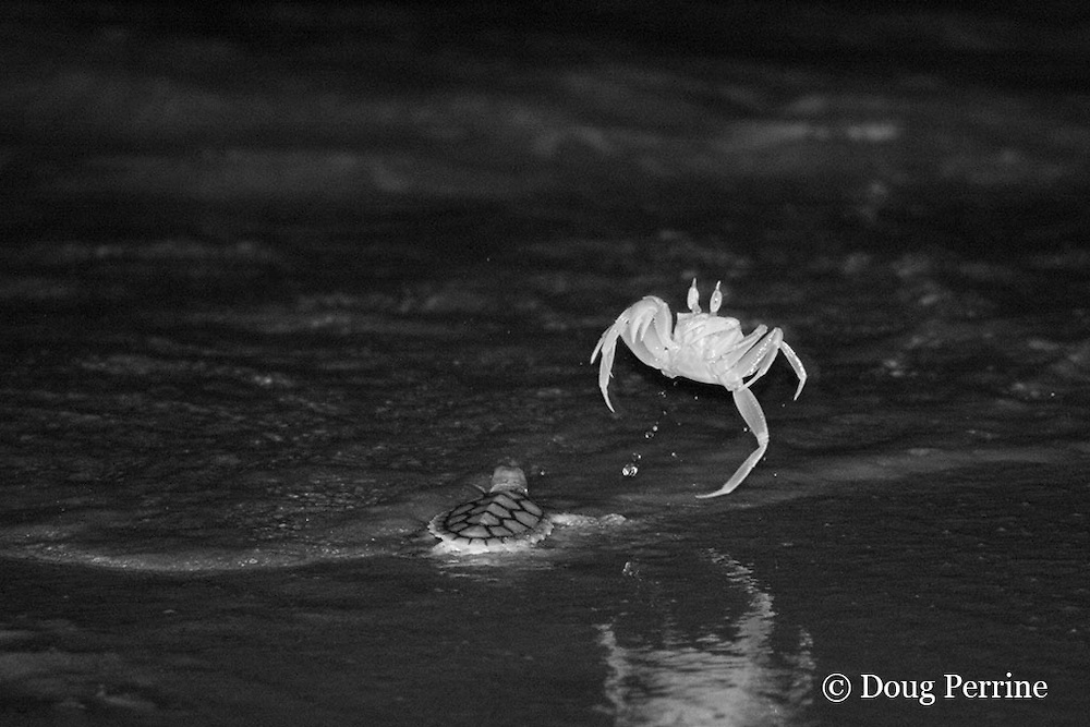 ghost crab, Ocypode sp., possibly O. cordimana, attacking hatchling of Australian flatback sea turtle, Natator depressus, jumps when a wave comes in, Crab Island, Torres Strait, Queensland, Australia; photo taken at night, in the dark, using infrared illumination