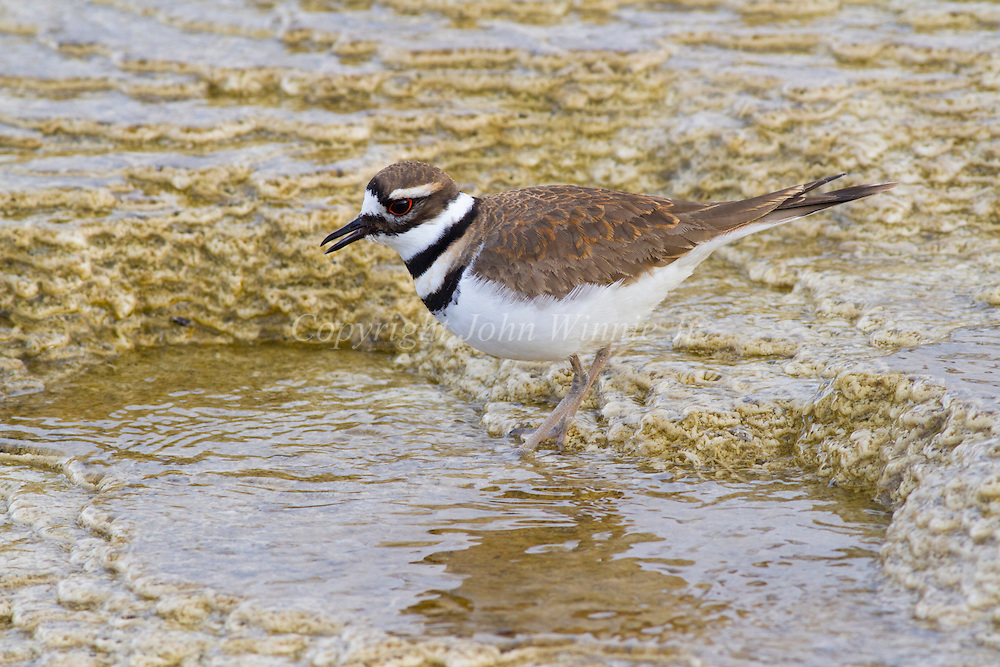 Killdeer foraging in Mammoth Hot Springs, Yellowstone National Park.