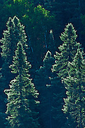 Spruce trees on shore of Opeongo Lake<br /> Algonquin Provincial Park<br /> Ontario<br /> Canada