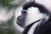 Closeup picture of Colobus Monkey sitting in a tree | Nærbilde av Cplobus Monkey som sitter i et tred.