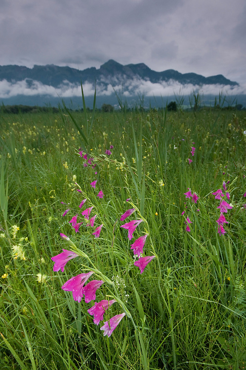 Gladiolus palustris; Gladiolus sp.; Ruggellerriet, Liechtenstein