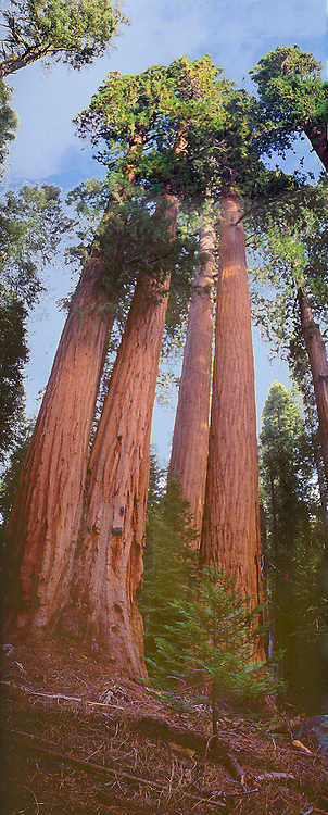 Vertical panorama of Giant Sequias, Sequoiadendron giganteum