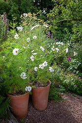 Cosmos bipinnatus 'Purity' in terracotta pots at Glebe Cottage