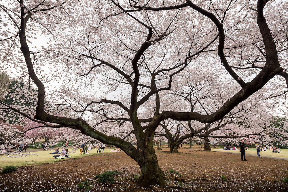 Shinjuku Gyoen features more than one thousand cherry trees of over a dozen varieties. There are spacious lawn areas, and the atmosphere is calm and peaceful making it one of Tokyo's Hanami favourite spots.