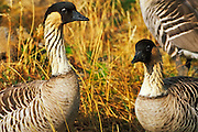 Nene Bird (Hawaiian Goose - Hawaii State Bird), Haleakala National Park, Island of Maui, Hawaii