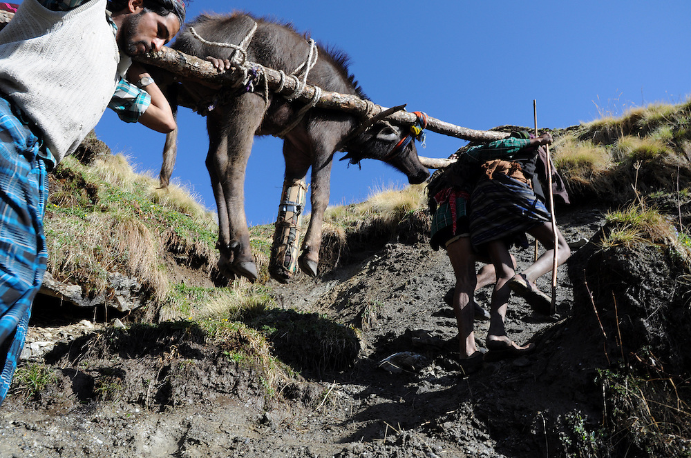A buffalo yearling, wearing a makeshift splint to stablize an open compund fracture on its front leg, is carried up and over a 12,500-foot mountain pass, to the meadow where the family will camp for the summer. By the time it would be time to descend in autumn, the buffalo should be able to walk on its own.