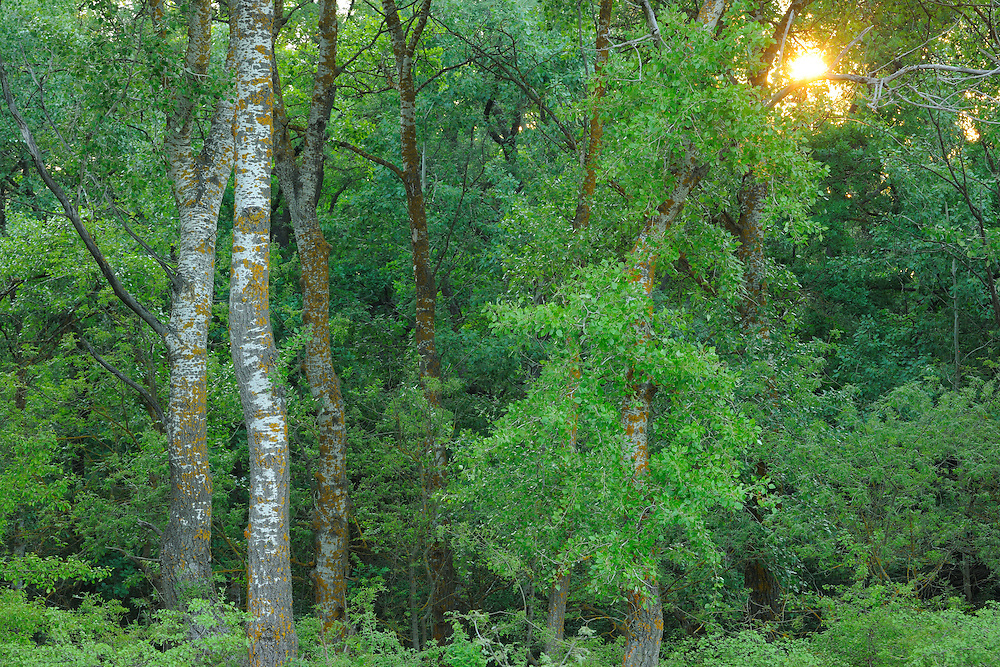 Poplars, Populus alba/nigra, Letea forest, Strictly protected nature reserve, Danube delta rewilding area, Romania