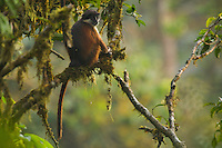 Pennant's Red Colobus (Procolobus pennantii pennantii) female in early morning light.  Endemic subspecies to Bioko Island.  Endangered Species (IUCN Red List: CR).