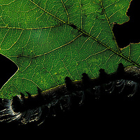 Caterpiller feeding on young Oak leaf spring 2003 Oxfordshire UK