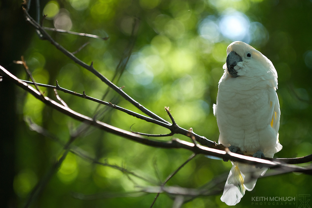White Cockatoo perched peacefully