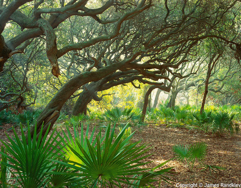 Twisted live oaks with palmettos