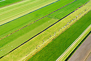 Nederland, Zuid-Holland, Krimpenerwaard, 10-06-2015;<br /> koeien zijn rond melktijd uit eigener beweging onderweg naar de melkstal.<br /> Cows around milking time spontaneously on their way to the parlor.<br /> <br /> luchtfoto (toeslag op standard tarieven);<br /> aerial photo (additional fee required);