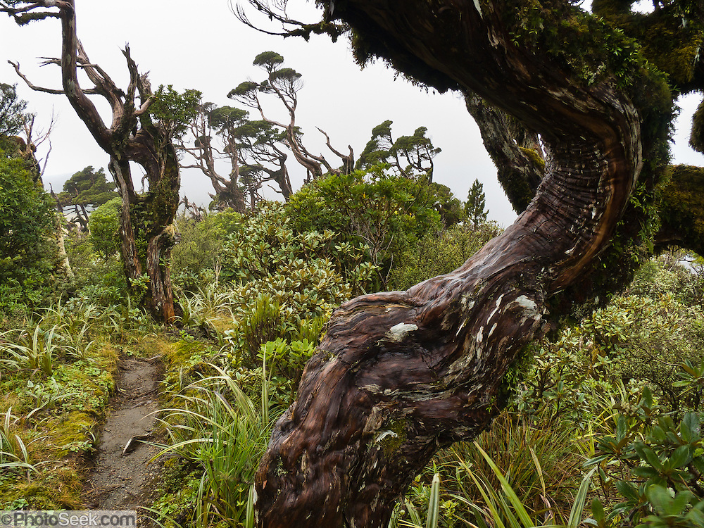 Harsh wind has twisted trees on the Pouakai Track, Taranaki / Mount Egmont National Park, New Zealand, North Island.