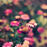 Close up shot of pink flowers with bokeh