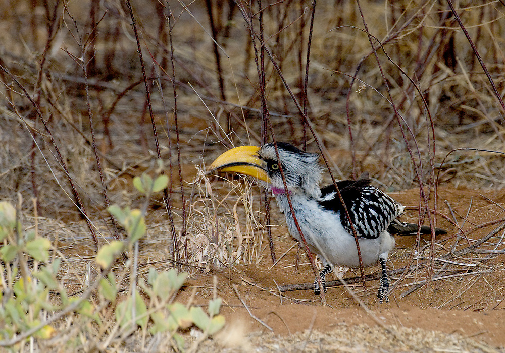 Eastern yellow-billed Hornbill (Tockus flavirostris - male), feeding on the dry ground in Samburu NP., Kenya.
