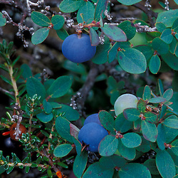 White Mountain N.F., NH.Bog bilberry, vaccinium uliginosum, with fruit on Mt. Washington..