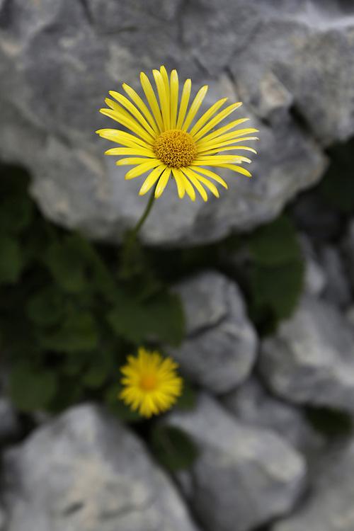 Yellow flower on the approach to Bobotov Kuk, from Crno Lake, Zabljak, Durmitor, Montenegro.