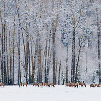 winter elk herd feeding in a meadow in front of tall cottonwood trees, flathead valley, montana
