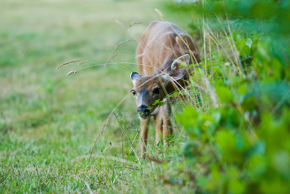 A fawn deer looking curiously through some grass.