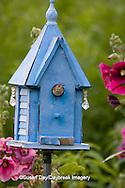 01324-01406 House Wren (Troglodytes aedon) at blue nest box near Hollyhocks (Alcea rosea) Marion Co. ,  IL