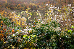 Autumn hedgerow with seedheads of Old Man's Beard (Travellers Joy) and Ivy flowers. Clematis vitalba and Hedera helix